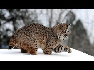 Рысь. Интересный познавательный фильм про диких кошек