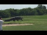Гигантский аллигатор замечен на поле для гольфа