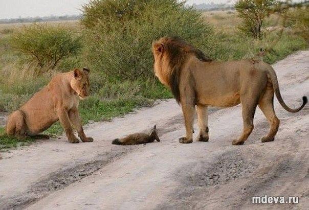 Даже диким животным не чуждо сострадание!