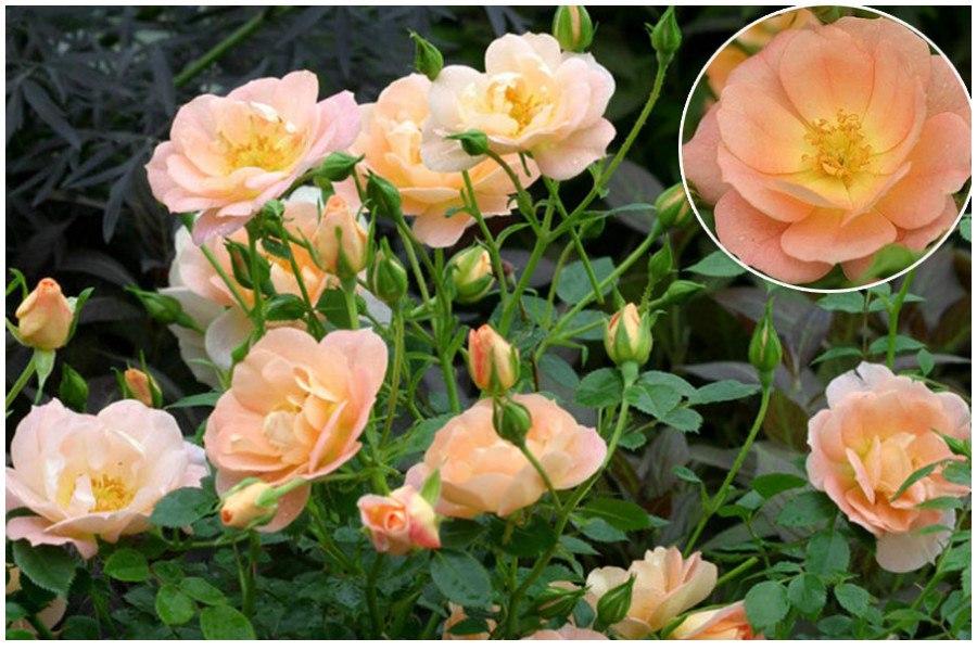 Розы Oso Easy Peachy Cream, персиково-кремовый цвет роз