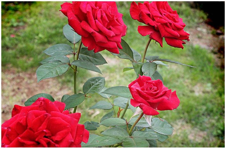 Весенние работы с розами: основные правила обрезки роз