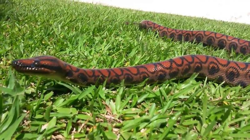 Epicrates cenchria - salamanta amazônica