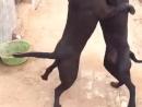 питбуль против питбуля собачьи бои 18+