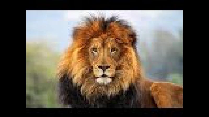 Документальный фильм - Последние львы.