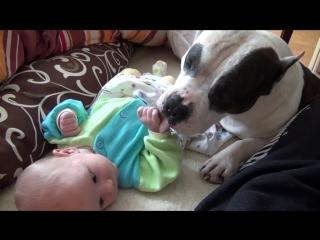 Амстафф - лучший друг для ребенка.