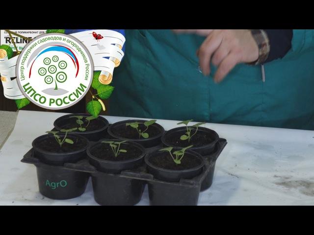 Выращивание пеларгонии из семян. Подкормка рассады прикорневая.