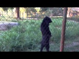 Медведь прогуливается на двух лапах вдоль забора - Bear walks on two legs along the fence