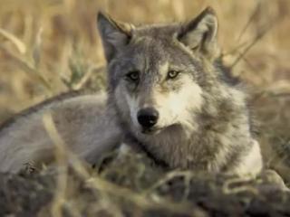 Чернила для 5 класса - Волчья кровь