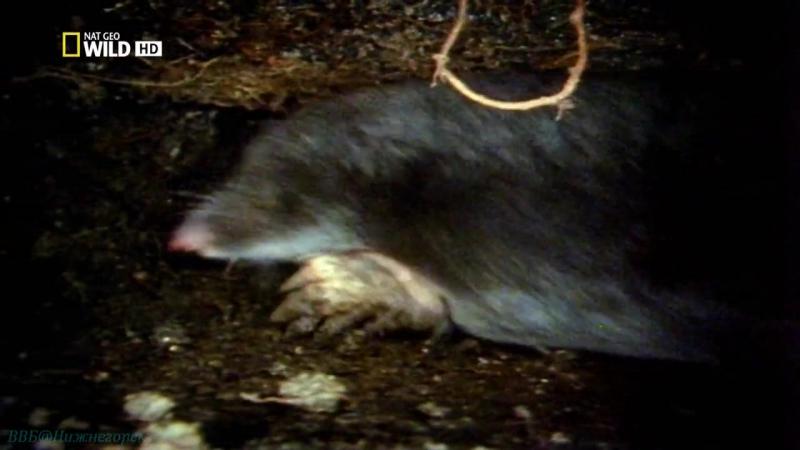 «Бойцовский клуб для животных (07). Койоты, крабы, орлы» (Документальный, 2014)