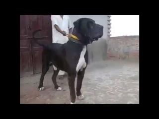 Bully Kutta - 100% Pure - Must Watch!