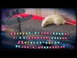 (Б) Крысы  Подселение стерильной девочки. Кассиопея. (Fancy Rats  Декоративные Крысы)