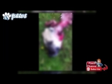 Pack of Wolves Killed Kangal Dogs   Sheep Flock  in Turkey!!!(720p)