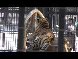 Тигр. Воронежский зоопарк.