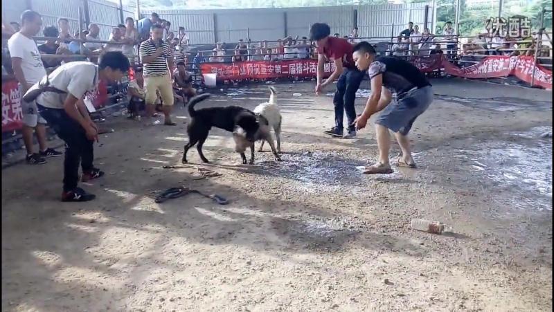 重安斗狗轻量级决赛【贵州猛犬 ? 18 собачьи бои