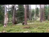 Мишки косолапые по лесу бегут... -