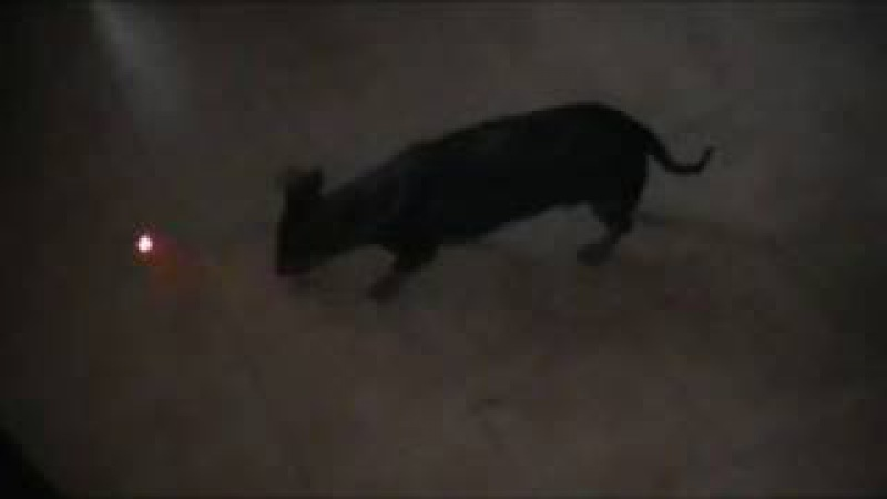 My dog playing laser game Video del mio cane giocando con il laser