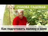 Голова садовая - Как подготовить малину к зиме