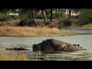 «Бойцовский клуб для животных (01). Битва в саванне» (Документальный, 2013)