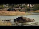 Бойцовский клуб для животных 01 Битва в саванне Документальный 2013