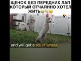 Сильная собачка
