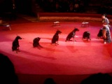 Доберманы цирк