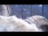 Впервые за несколько лет редкий снежный баран попал в объектив камеры
