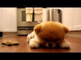 Милая собака по кличке Бу (boo)