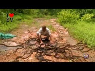 Сумасшедший змеелов выпускает сотни змей, кобры и гадюки в Индийский леc
