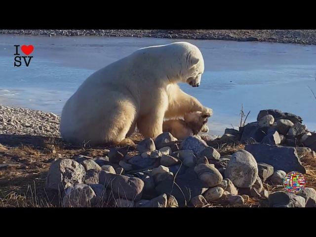 БЕЛЫЙ МЕДВЕДЬ ГЛАДИТ СОБАКУ ПО ГОЛОВЕ   Giant Polar Bear Pets Cuddles Up With Dog *SV HD*