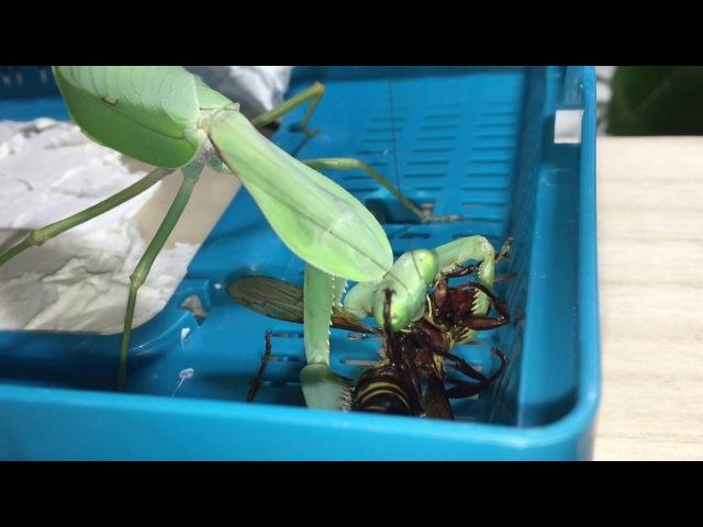Rhombodera megaera smash a giant hornet
