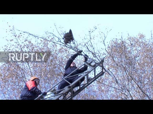 Россия: Бесшабашный енота застревает в дереве, выживает эпикческий падение с навесом.