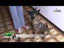Дрессировка щенка малинуа, ошибка отрыв корма от носа, связка сидеть-лежать