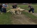 собачьи бои Чечня / Dog fight in Chechnya