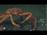 Deep sea crab gets a shock as he mistakes methane bubbles for food