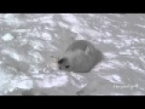 Cute baby seal eats snow (милый белек ест снег)