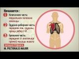 15. Мышцы груди