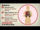 Мышцы груди.*