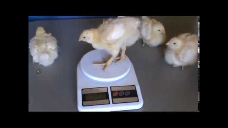 Цыплята *Геркулес* рождение-рост-развитие -второе поколение