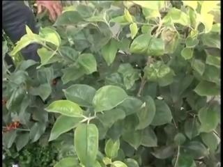 Как разбить яблоневый сад и обрабатывать дерево на даче Урожайные грядки. Дача