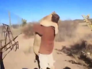 Клёво! Хозяин идёт к тигру! Смотреть всем и постарайтесь распространить это видео! Трогательно!