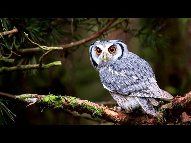 Как кричит сова   крик совы в лесу