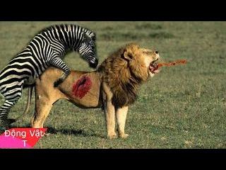 Video ngựa đá sư tử như đá bóng những con sư tử ngu nhất hành tinh - lion vs horse
