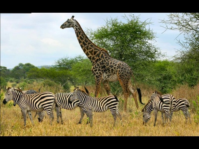 Дикая Африка. Серенгети. Жизнь животных. Документальный фильм National Geographic.