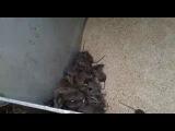 Ай да кот ловит мышей хвостом