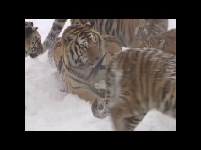 To these tigers in northeast China, a drone is just a giant cat toy