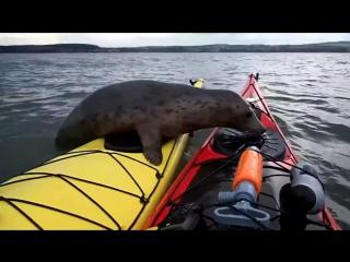 Тюлень прокатился на байдарках в Шотландии