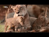 National Geographic: Африканские охотники 3. Кровные узы (2017) HD