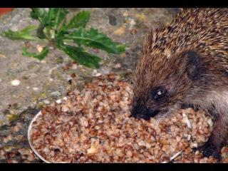 Забавный ёжик кушает кашу. Funny hedgehog eating porridge. [Sun Video]