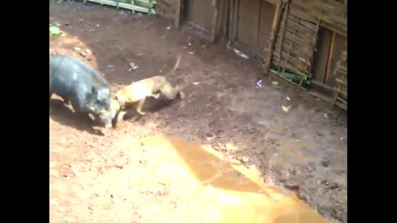 Подсвинок против пита (Pig vs pitbull)