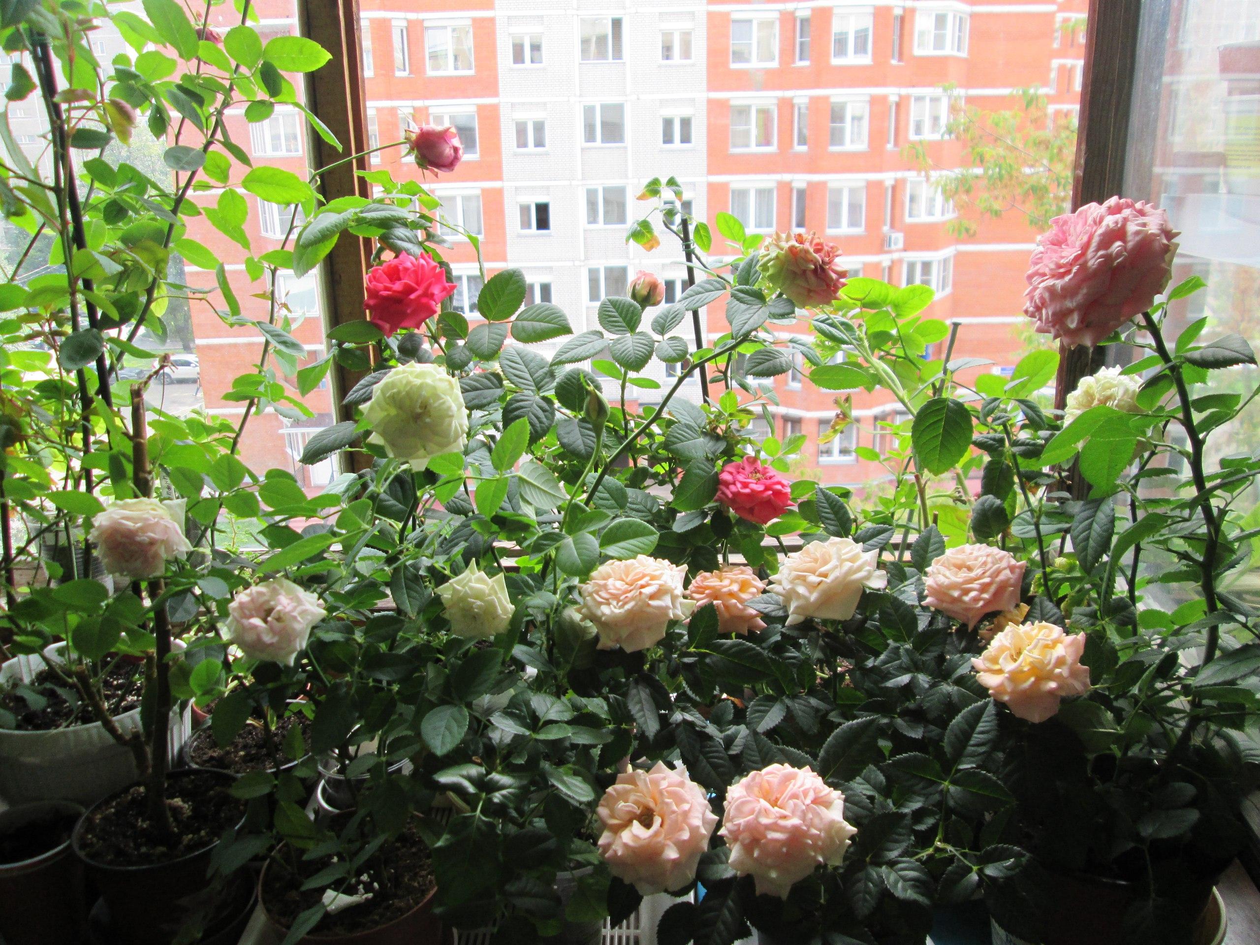 комнатные цветы фото и уход за ними роза